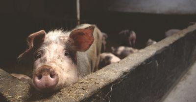 Ekelhaft: Diese Zusatzstoffe im Kaugummi bestehen aus Schwein