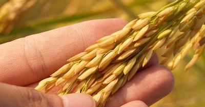 Was du über Reis wissen musst