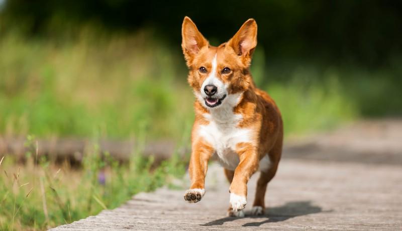 Corgi, Hund, Hunde, Haustier