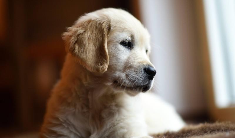 Golden Retriever Hund Hunde