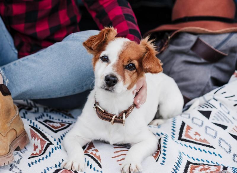 Jack Russell Terrier, Hund, Hunde, Tier