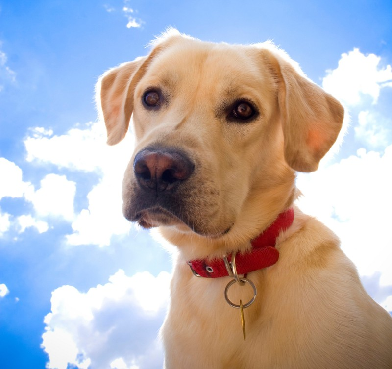 Labrador Retriever dog hund hunde