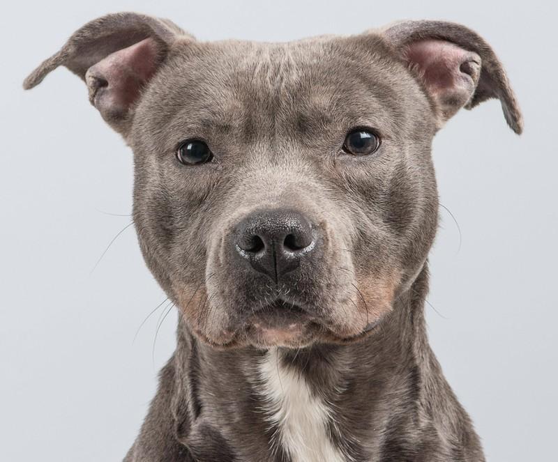 Pitbull hund