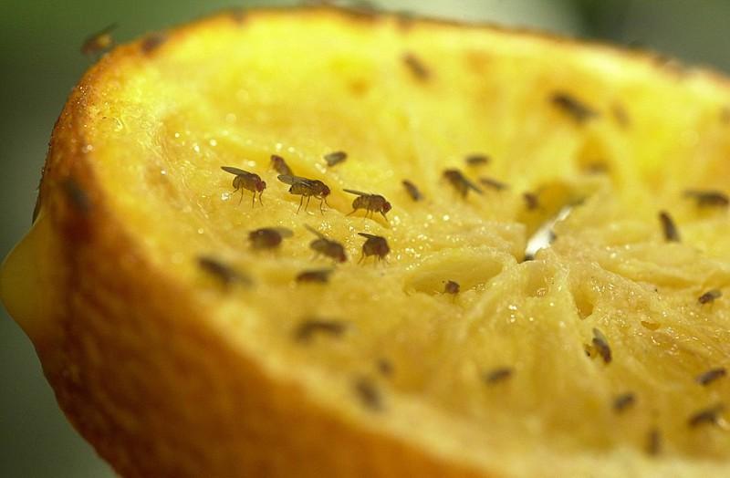 Obstfliegen machen sich oftmals auf unseren Früchten breit, aber mit einem simplen Trick wirst du sie los.