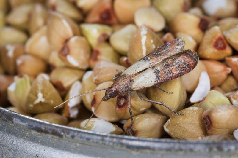 Lebensmittelmotten sollten in der Küche gründlich bekämpft werden.